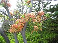 Rainbow Shower Tree by Carole Grogloth - panoramio.jpg