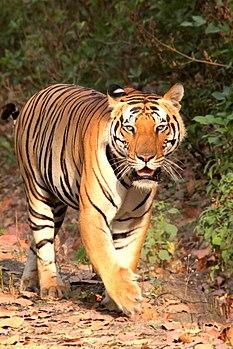 Rajaram, Kanha Tiger, Young one.jpg