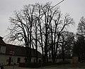 Rajhrad, skupina památných stromů u kláštera (3).JPG