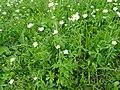 Ranunculus aconitifolius L. (7433692882).jpg