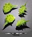 Ranunculus arvensis sl10.jpg