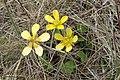 Ranunculus multiscapus kz02.jpg