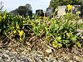 Ranunculus sardous subsp. sardous sl22.jpg