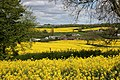 Rapeseed fields of gold - panoramio.jpg