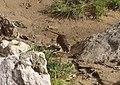 Rat à Brignoles 9.jpg