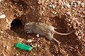 Rat del wastene dos.JPG
