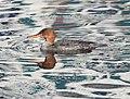 Red-breastedMerganserMittelsägerWeibchen 01.jpg