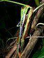 Red-eyed Tree Frog (Agalychnis callidryas) (7087400353).jpg