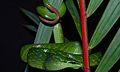 Red-tailed Green Rat Snake (Gonyosoma oxycephalum) (8678547122).jpg