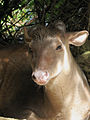Red Brocket Deer in Barbados 08.jpg