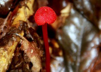 Brahmagiri Wildlife Sanctuary - Red Mushroom (Poisonous in Nature) found in Brahmagiri Wildlife Sanctuary