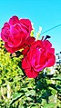 Red Rose 2018 10.jpg