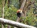 Red panda in Darjeeling Zoo AJTJ P1110781.jpg