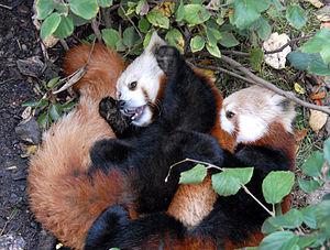 English: Red panda wrestling