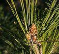 Red pine bits (52375).jpg