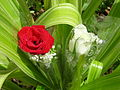 Red white rose231.JPG