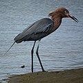 Reddish Egret- Bolsa Chica Wetlands (4411996975).jpg