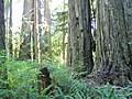 Redwood National and State Parks - panoramio (1).jpg