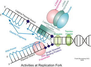 Eukaryotic DNA replication - Eukaryotic DNA replication