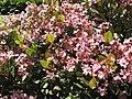Rhaphiolepis indica 'Springtime'.JPG