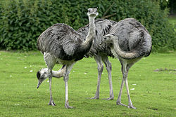 Rhea americana - Three adult birds.jpg