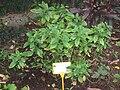 Rhinacanthus nasutus - Hong Kong Botanical Garden - IMG 9607.JPG