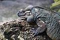 Rhino Iguana (15437610880).jpg