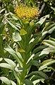 Rhodiola rosea 3 RF.jpg