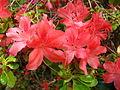 Rhododendron 'Addy Wery' 01.JPG
