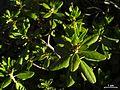 Rhododendron columbianum - Flickr - pellaea (1).jpg