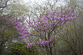 Rhododendron dilatatum 01.jpg