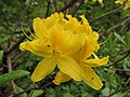 Rhododendron luteum 01.JPG