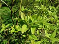 Rhododendron mucronulatum 2019-04-16 0028.jpg