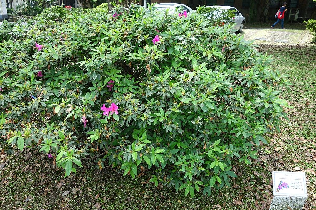 rhododendron pulchrum wikipedia