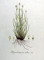 Rhynchospora alba — Flora Batava — Volume v8.jpg