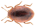 Rhyzobius chrysomeloides (Herbst, 1792).png