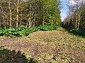 Riesen-Bärenklau bei alter Kiesgrube Glueck zwischen Planegg und Neuried 01.jpg