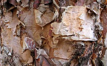 River birch bark.jpg