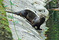 River otter on bank, Park Ave San Anselmo Creek Charles Kennard cropped.jpg