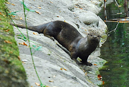 A North American river otter in the San Anselmo Creek. River otter on bank, Park Ave San Anselmo Creek Charles Kennard cropped.jpg