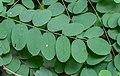 Robinia pseudoacacia in Pampelonne, Tarn - 2019.jpg