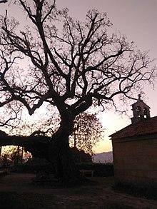 Roble centenario situado en el recinto de la ermita románica de Santa Margarita en la Parroquia de Mourente (Pontevedra). Alcanza los 8 m de perímetro y los 18 m de altura. El diámetro de su copa supera los 21 m. El conjunto de ha sido escenario de algunos episodios históricos.