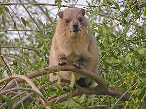 this rock hyrax (Procavia capensis) is on the ...