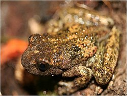 Rocky Mountain Tailed Frog (10332321346).jpg
