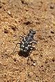 Ropaloteres luridus namaquus (Carabidae- Cicindelinae) (37399892351).jpg