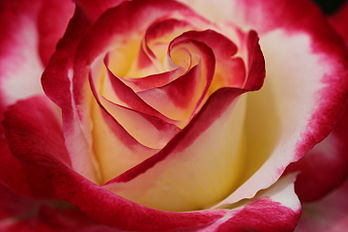Rosa 'Double delight' 77.jpg