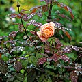 Rosa 'Lady Emma Hamilton' with raindrops, Nuthurst, West Sussex, England.jpg