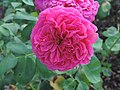 Rosa 'Lady of Megginch' 01.jpg