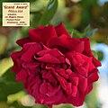 "Rosa ""Grand Award"" o POULcy 014.jpg"