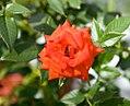 Rosa Apricot Sunblaze 0zz.jpg